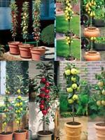 3 x Patio Fruit Trees*Pear*Cherry*Plum*Easy to do(Like dwarf-stay small potted)