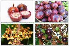 10 seeds Chrysophyllum cainito, caimito, star apple color purple Thai herb fruit