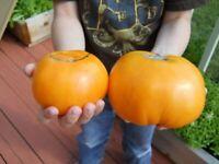 30 KENTUCKY BEEFSTEAK TOMATO SEEDS HEIRLOOM 2020 ~ NON-GMO ~ U.S.A. SELLER!