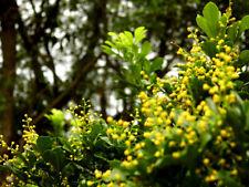 Chinese Perfume (Aglaia odorata) Live Plant