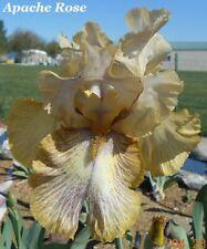 "1 ""Apache Rose"" Very Showy Tall Bearded Iris Rhizome"