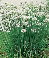 Organic Perennial flat-leaf Garlic Chives 25+seeds strong aroma and flavor