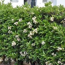 SWEET VIBURNUM odoratissimum hardy fragrant flower hedging plant in 140mm pot
