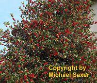 i! STECHPALME !i winterharter frostharter Baum Garten Pflanze Exot Sämereien
