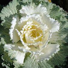 Flowering Cabbage Seed 50 Osaka White flowering kale Seeds