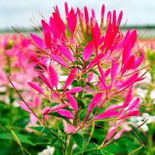50+ CLEOME QUEEN ROSE PINK FLOWER SEEDS / DEER RESISTANT / FRAGRANT TALL  HARDY