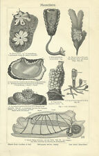 1906 Manteltiere - Alter Druck Antique Print - Seescheide Salpe Ascidie