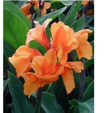 (1)Canna Bulb Dwarf Orange Tangelo big flowers green foliage rhizomes Lily Rare