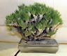 Tylecodon wallichii - Caudex Pflanze 10 Samen, Sukkulente, Zimmerpflanze