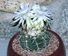 10 Discocactus latispinus HU 146 semi cactus seed semen no astrophytum caralluma