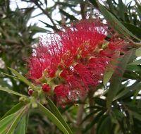 schöner Baum aus Australien: der feuerrote LAMPENPUTZER