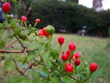 Chilli Tepin (Capsicum annuum) 20 Fresh  Seeds