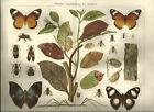 1906 Mimikry Nachahmung bei Insekten - Alter Farbdruck Druck Antique Print