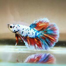 Live Betta Fish - Male - Fancy Multicolor Halfmoon (HFJUN106) (High-Grade)