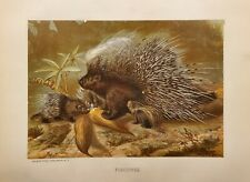 Porcupine. color plate from 1898. Very detailed, beautiful color. 120 years old