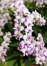 �Dendrobium Enobi Purple Splash - Miniature Orchid Plant- Must Have!