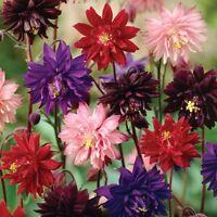 Seeds Aquilegia Terry Mix Flower Outdoor Perennial Garden Cut Organic Ukraine