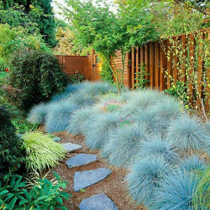 LANDSCAPING GRASS Fescue 'Blue Varna 100+ seeds drought + shade tolerant garden