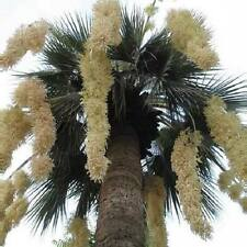 Brahea armata   -   *Blue Hesper Palm*   -   3 large seeds