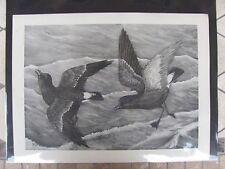 Original   Rex Brasher #104  Hand Painted Bird Print  Stormy Petrel #104REX2 DSS