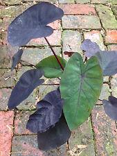 Colocasia black elephants ear MADEIRA tropical foliage taro perennial plant