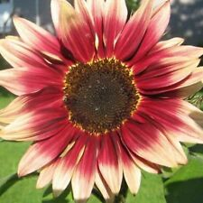 RED SUN SUNFLOWER 35 SEEDS Helianthus Hedge Privacy Screen Cut Flowers Bees USA