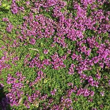 Quendel Feldthymian Duftrasen winterharte Steingartenstaude Thymus serpyllum