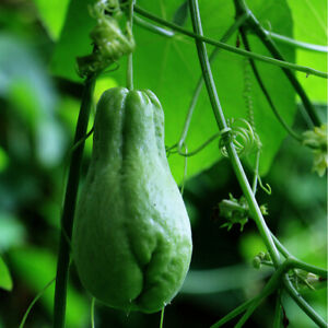 30pcs Chayote Seeds Delicious Chayote Green Bonsai Organic Vegetables Fruits