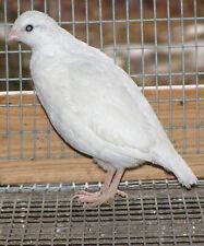 New listing 24 White Bobwhite Quail hatching eggs