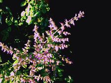 Patchouli ( Pogostemon cablin ) * 1 PLANT *