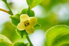 5 Seeds Diospyros montana var cordifolia Mottled Ebony Tropical persimmon