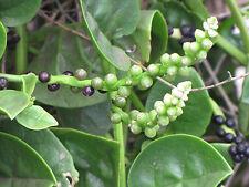 Indischer MALABAR SPINAT grün 10 Basella Alba Malabarspinat Ceylonspinat