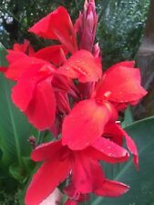 canna lily scarlet beautiful