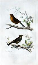 SERIN des CANARIES & SERIN de PROVENCE (SERIN CINI) - Gravure couleur du 19e s.
