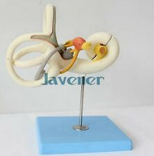 Magnify Human Anatomical Labyrinth Of The Inner Ear Anatomy Medical Teach Model