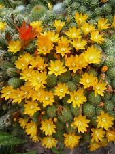 Vertical wall cactus - compact with yellow flowers October-December  20 plants