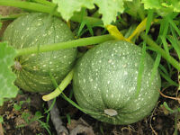 squash, ZUCCHINI, ROUND summer squash, 16 seeds! GroCo