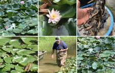 Red, White, Pink Hardy Water Lily Tuber Rhizome Plant About 12 Inches