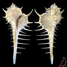Murex djarianensis poppei, Thailand, Muricidae sea shell