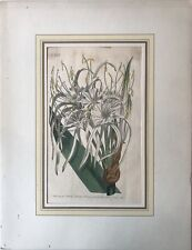 Hand Colored Copperplate Francis Sansom - Sydenham Edwards - Spinnenlilie