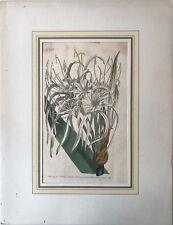 Handkolorierter Kupferstich Francis Sansom - Sydenham Edwards - Spinnenlilie
