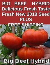 "100 + BEEFSTEAK Luscious ORGANIC  ""BIG BEEF"" Tomato Seeds    FREE SHIPPING"