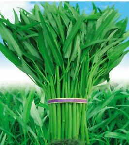 Vegetable Seeds Water Spinach/ Pak-boing Morning Glory 50+ Seeds Buy2 Get 1 free