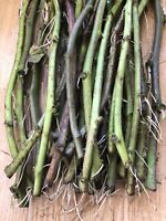 Rooted Sweet Potato Slips 20 Fresh Cutting Vine Ready To Plant