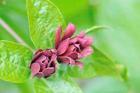 ** Garten Pflanzen Samen winterharte Zierpflanze Saatgut Baum GEWÜRZSTRAUCH