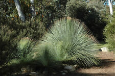 Fastgrowing Queensland Blue Grass Tree (Xanthorrhoea glauca) - 20 Seeds
