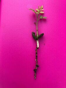 3 REGULAR curry LEAF plant kadi patta murraya koenigii limdi seedlings