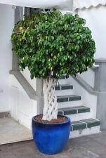 """TOP Birkenfeige""""Ficus benjamina"""" dekorative Topfpflanze für den Flur-Zimmerbaum"""