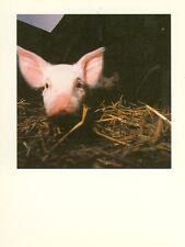 CUTE LITTLE PIGLET/PIG ON THE FARM (P17*)