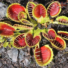 DIONAEA MUSCIPULA,Crazy Cup Trap Venus Fly Trap Plant,Carnivorous-10 Fresh Seeds